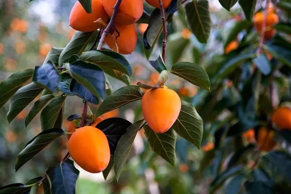 柿子19.jpg